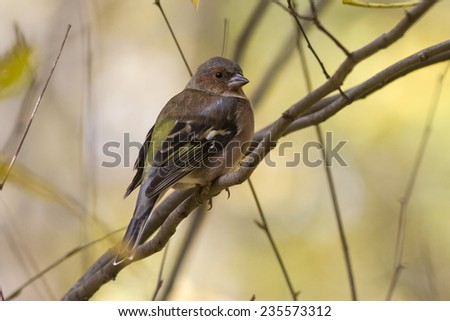 female Chaffinch is sitting on a branch sunny autumn day - stock photo
