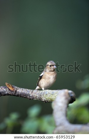 Female Chaffinch Perching On A Tree Branch