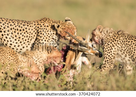 Female Cheetah with her 3 sub adult cubs, feeding on a Thompson's Gazelle - stock photo