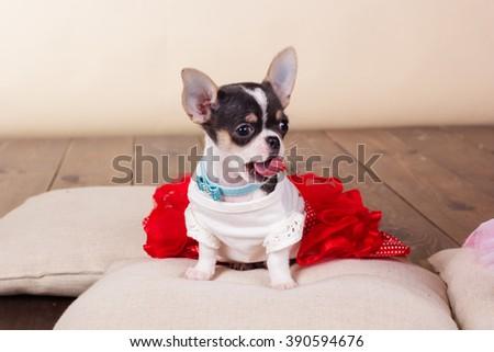 Female chihuahua dog lying on pillows - stock photo