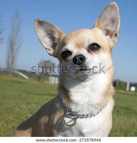 female chihuahua in front of a blue sky - stock photo
