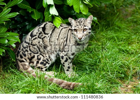 Female Clouded Leopard Sitting Under Bush Neofelis Nebulosa - stock photo