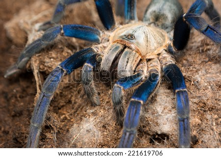 female Cobalt blue tarantula out of her burrow and eating a cockroach - Haplopelma lividum. The cobalt blue tarantula is a medium size tarantula, being fast and defensive with potent venom.