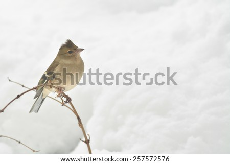 Female Common Chaffinch (Fringilla coelebs) with fluffed up feathers blowing in the wind on snowy winter day - Scotland, UK - stock photo