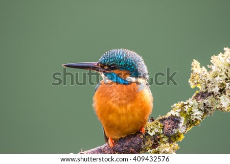 Female Common Kingfisher (Alcedo atthis) perched on a lichen covered branch looking to left - stock photo