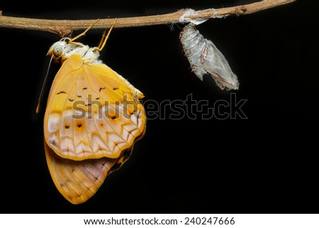 Female common leopard butterfly emerged from cocoon on black background - stock photo