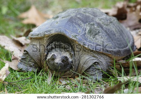 Female Common Snapping Turtle (Chelydra serpentina) looking for a place to lay her eggs - Ontario, Canada - stock photo