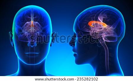 Female Corpus Callosum Brain Anatomy Blue Stock Illustration ...
