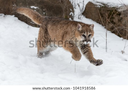 Female Cougar (Puma concolor) Leaps Forward - captive animal