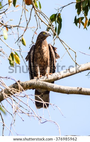 Female Crested honey-buzzard (Pernis ptilorhyncus) or Oriental honey buzzard in india