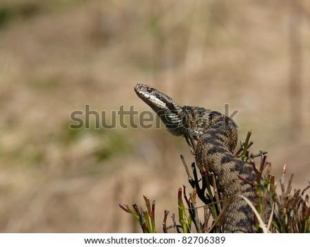 Female crossed viper or common European adder, Vipera berus - stock photo