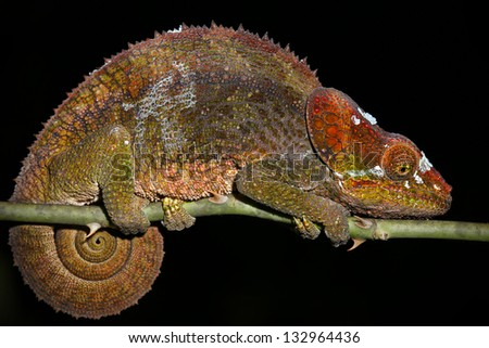 Female Cryptic or Blue-legged Chameleon (Calumma crypticum) rests on a branch in the wilds of Madagascar (Rain Forest of Ranomafana). Incredible vibrant colors at night while sleeping. Tree, foliage. - stock photo