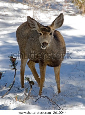 Female deer - stock photo