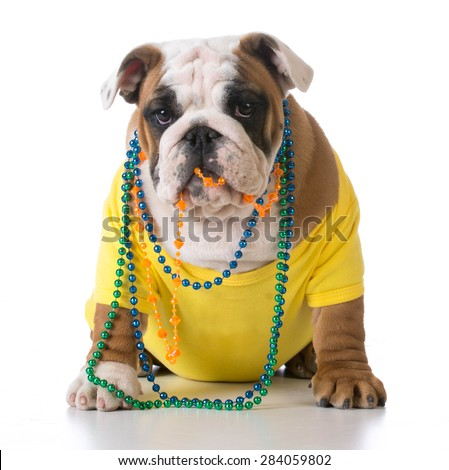 female dog - bulldog wearing yellow shirt with colorful beads on white background - 3 months old - stock photo