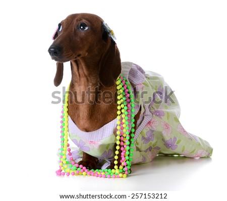 female dog - miniature dachshund wearing  clothing on white background - stock photo