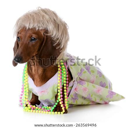 female dog - miniature dachshund wearing wig and clothing on white background - stock photo