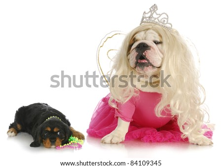 female dogs - cavalier king charles spaniel and english bulldog wearing girl clothing on white background - stock photo