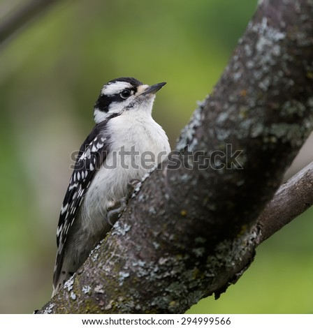 Female Downy Woodpecker in Summer