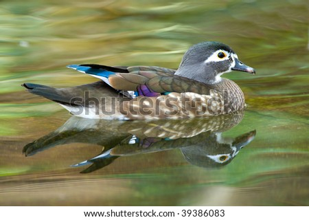 Female Duck in a pond