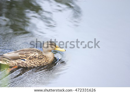 Female duck swimming in calm pond. Duck is swimming to the right.  The subject is in the lower third of the frame with plenty of negative space.
