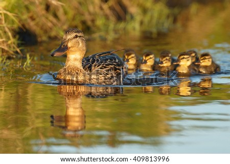 Female duck with ducklings in late sunlight - stock photo