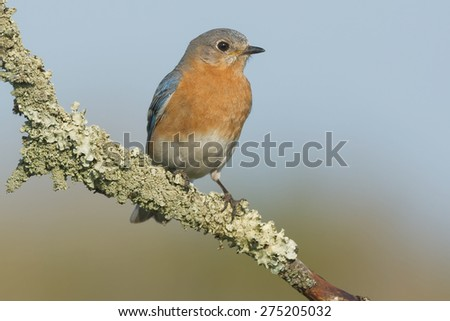 Female Eastern Bluebird perched on a moss covered branch. - stock photo