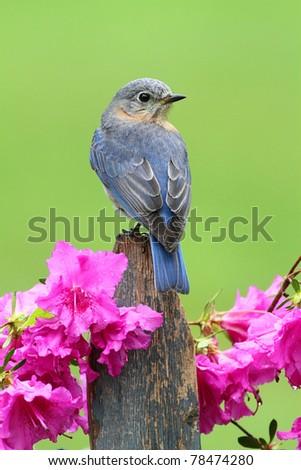 Female Eastern Bluebird (Sialia sialis) on a fence with azalea flowers - stock photo
