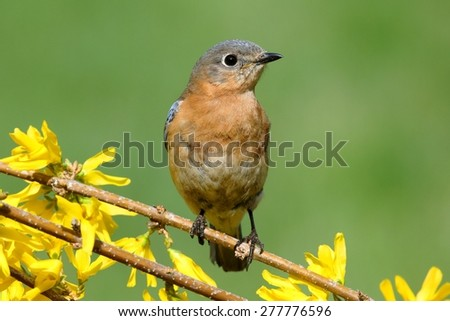 Female Eastern Bluebird (Sialia sialis) on a perch with forsythia flowers - stock photo