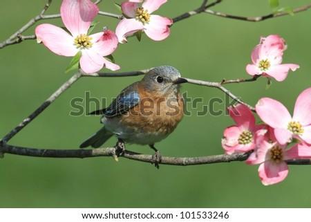 Female Eastern Bluebird (Sialia sialis) with pink Dogwood flowers - stock photo