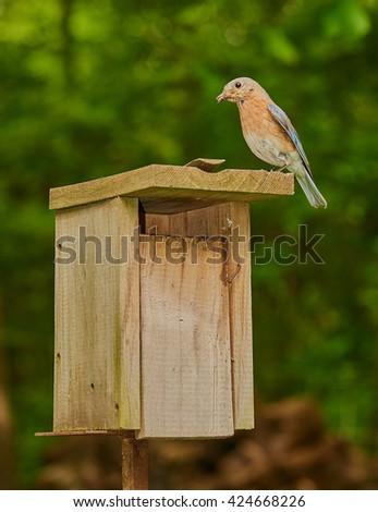 Female Eastern Bluebird with Grasshopper - stock photo