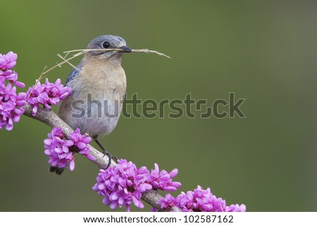Female Eastern Bluebird with Nesting Material on Flowering Eastern Redbud Branch - stock photo