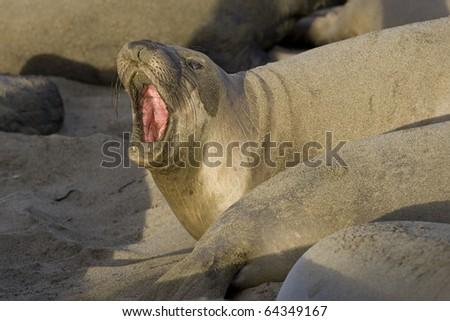 Female Elephant Seal defends her territory on San Simeon Beach - stock photo