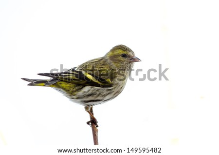 Female eurasian siskin isolated on white background - stock photo