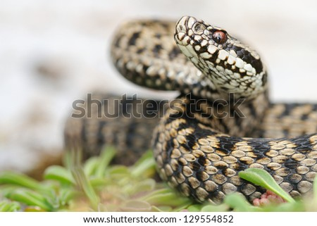 Female european adder (Vipera berus) portrait - stock photo