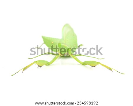 Female European Mantis or Mantis religiosa, isolated on white - stock photo