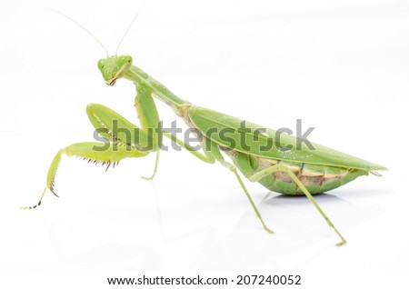 Female European Mantis or Praying Mantis, Mantis religiosa, in front of white background.