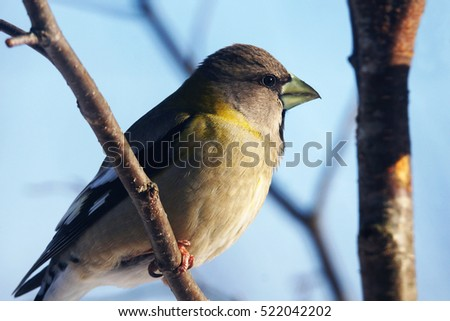 Female Evening grosbeak, Coccothraustes vespertinus, perched on branch