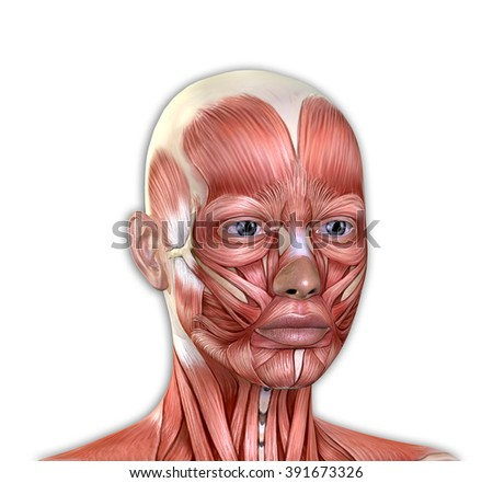 anatomy face muscle stock images, royalty-free images & vectors, Cephalic Vein
