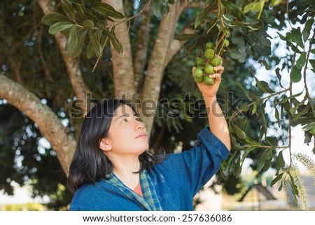 female farmer harvest macadamia in orchard - stock photo