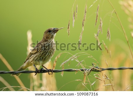 Female finch perched on barbed wire fence pulling seeds from prairie grasses - stock photo