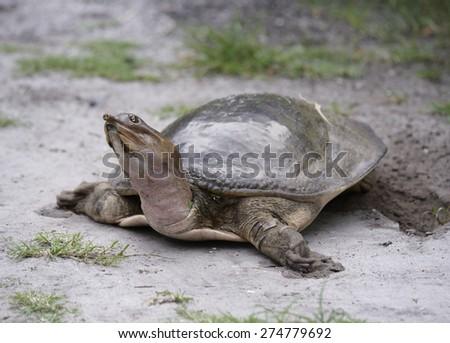Female Florida Softshell Turtle  Laying  Eggs - stock photo