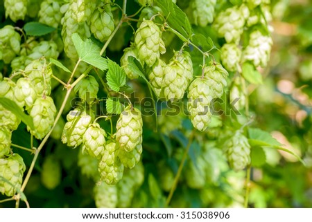Female flowers of Humulus lupulus, also called hops, in the forest under the warm sun - stock photo