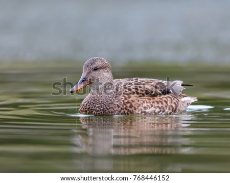 Female Gadwall Swimming in Fall