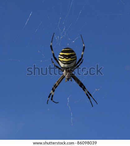 Female Garden Orbweaver spider (Argiope bruennichi) with sky as background. Faial, Azores