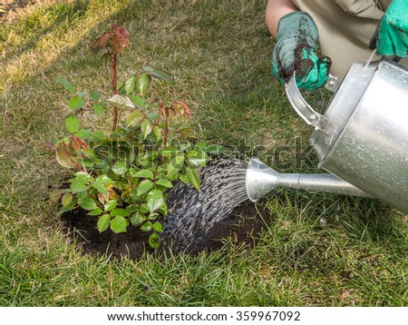 Female gardener watering rose shrub after planting it in in her backyard garden - stock photo