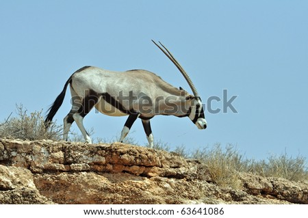 Female Gemsbok Antelope in the Kgalagadi Transfrontier Park, Southern Africa. - stock photo