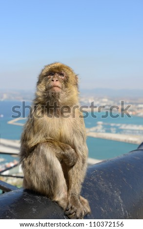 Female Gibraltar Monkeys or Barbary Macaques, closeup - stock photo