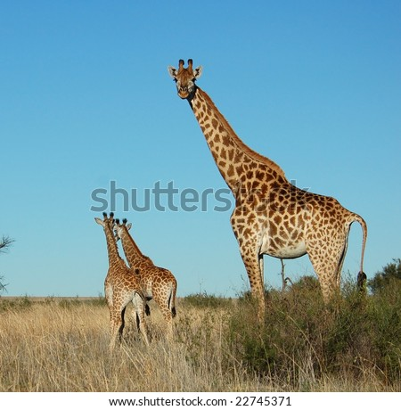 Female Giraffe with two calves in South Africa. - stock photo