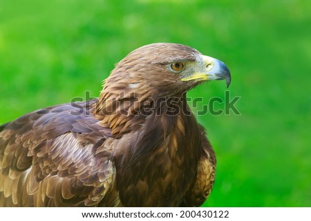 female golden eagle portrait close up - stock photo