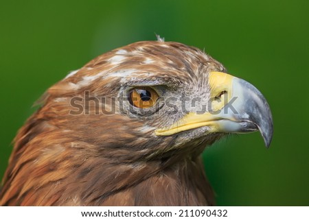 female golden eagle with green background
